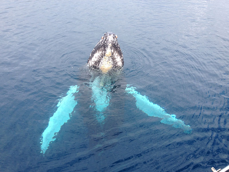 A large Humpback whale greets people by 'spy hopping'.
