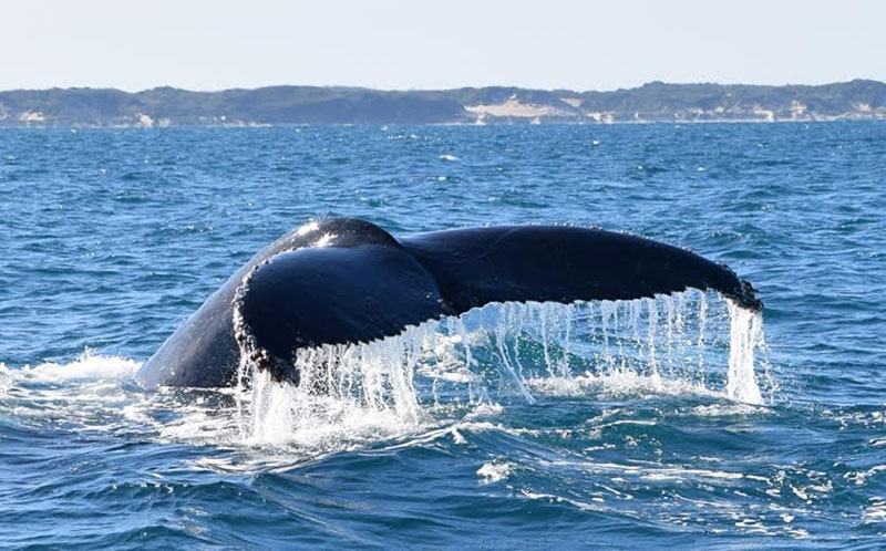 A whales tail flicking out of the water on the Busselton Whale Watching Tour.